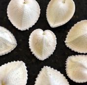 12 Beautiful White True Heart Cockle Shells (1 2.5cm /5.1cm - 4.4cm ) Beach Wedding Crafts